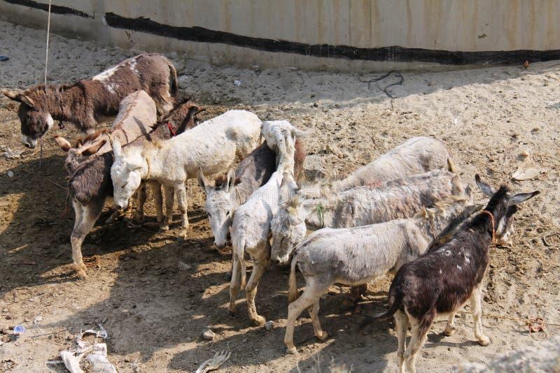 okrucieństwo zwierzęcy osły fotografia stock