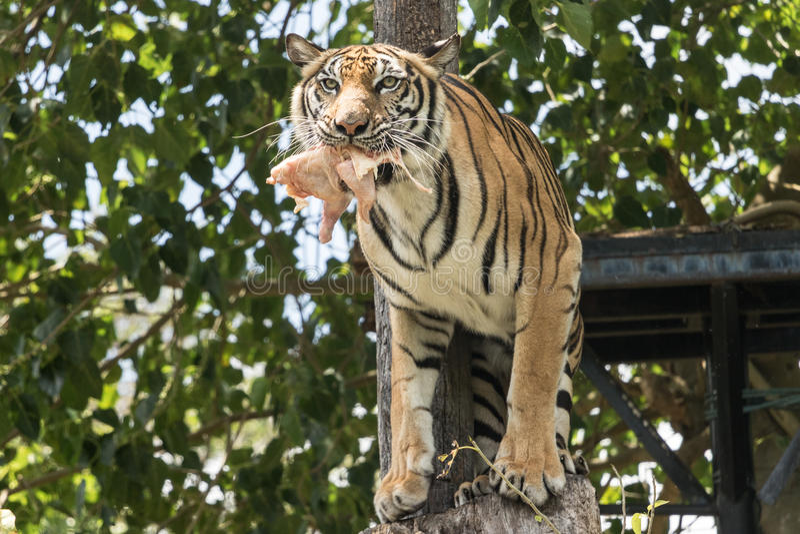 Okrutnie tygrysi straszny ofiary i jeść zdjęcie stock