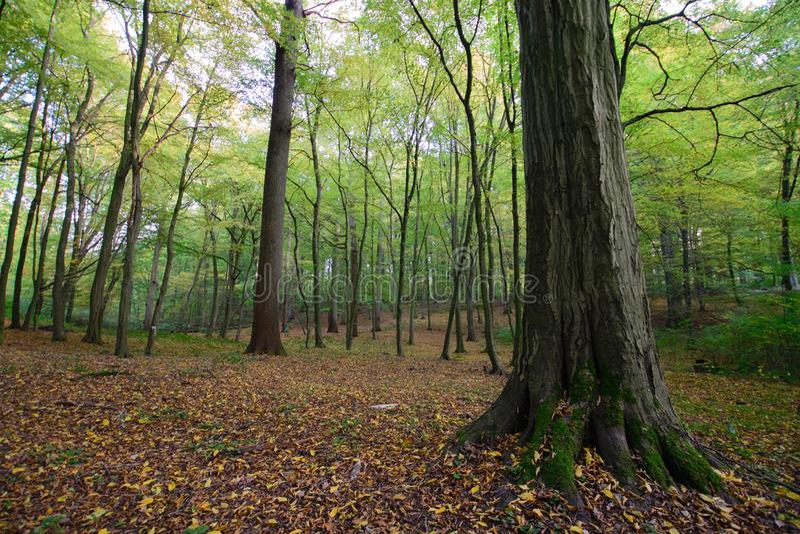 Oktober i den Sonian skogen arkivfoto