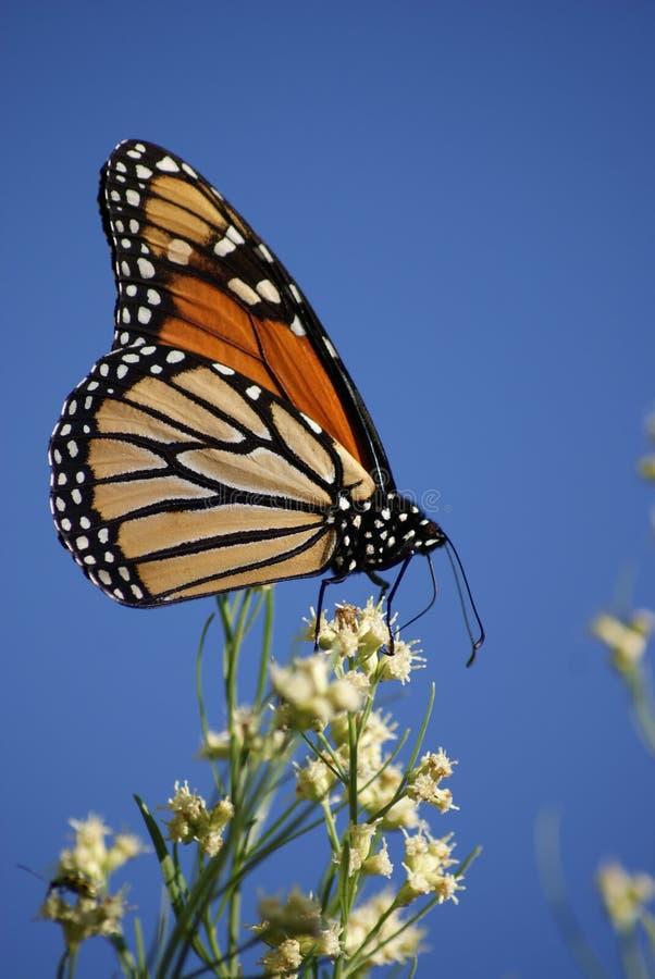 Oktober-Monarch royalty-vrije stock fotografie
