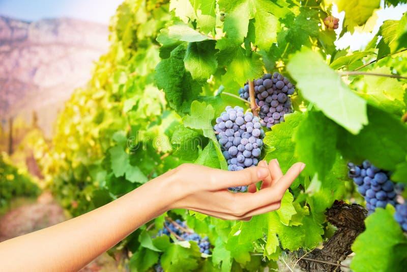 Okulistyczny złudzenie ręki mienia winogrona wiązka zdjęcie royalty free