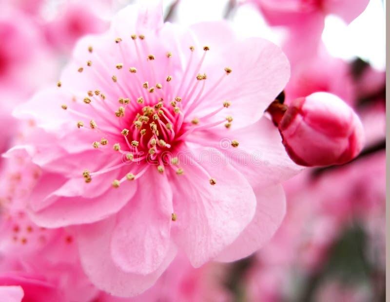 okwitnięcia brzoskwini menchie zdjęcia stock