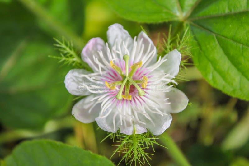Okwitnięcia Cuchnący passionflower, Szkarłatny owocowy passionflower zdjęcia stock