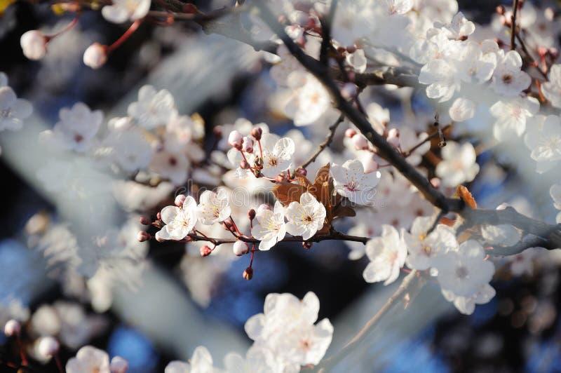 okwitnięcia czereśniowy wiosna drzewo zdjęcia stock