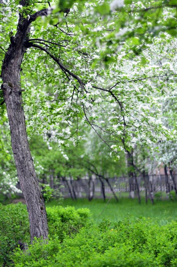 Okwitnięcia drzewo w zielonym ogródzie zdjęcia stock