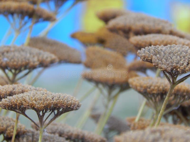 Okwitnięcia kwiatonośny krzak obraz stock