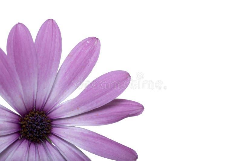 okwitnięcia kwiatu odosobniona wiosna obraz stock