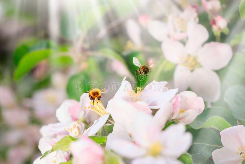 Okwitnięcia kwitnienie na drzewach w wiośnie Jabłoń kwitnie kwitnienie Kwitnąć jabłoni kwitnie z zielonymi liśćmi tło odosobnione obraz royalty free