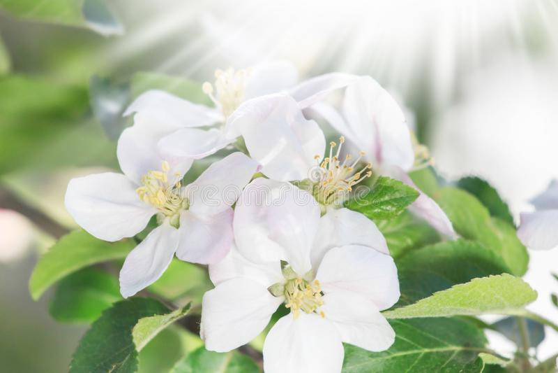 Okwitnięcia kwitnienie na drzewach w wiośnie Jabłoń kwitnie kwitnienie Kwitnąć jabłoni kwitnie z zielonymi liśćmi tło odosobnione zdjęcie stock