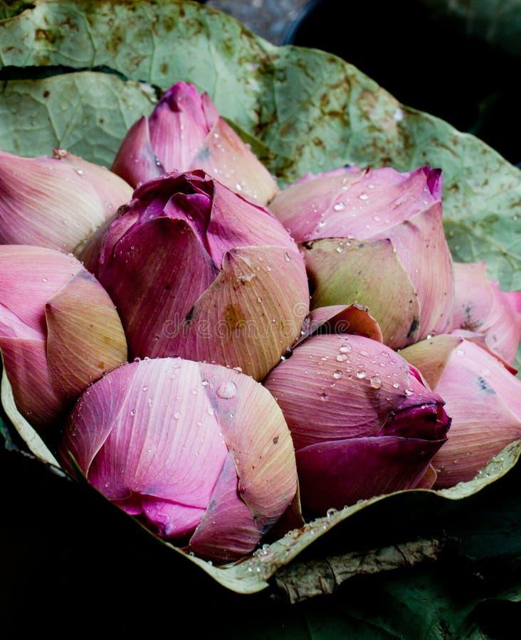 okwitnięcia pączków wiązki lotosu menchie zawijać zdjęcie royalty free