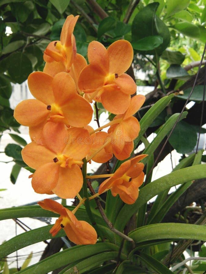 Okwitnięcia Vanda kwiatu pomarańczowy storczykowy bukiet zdjęcia stock