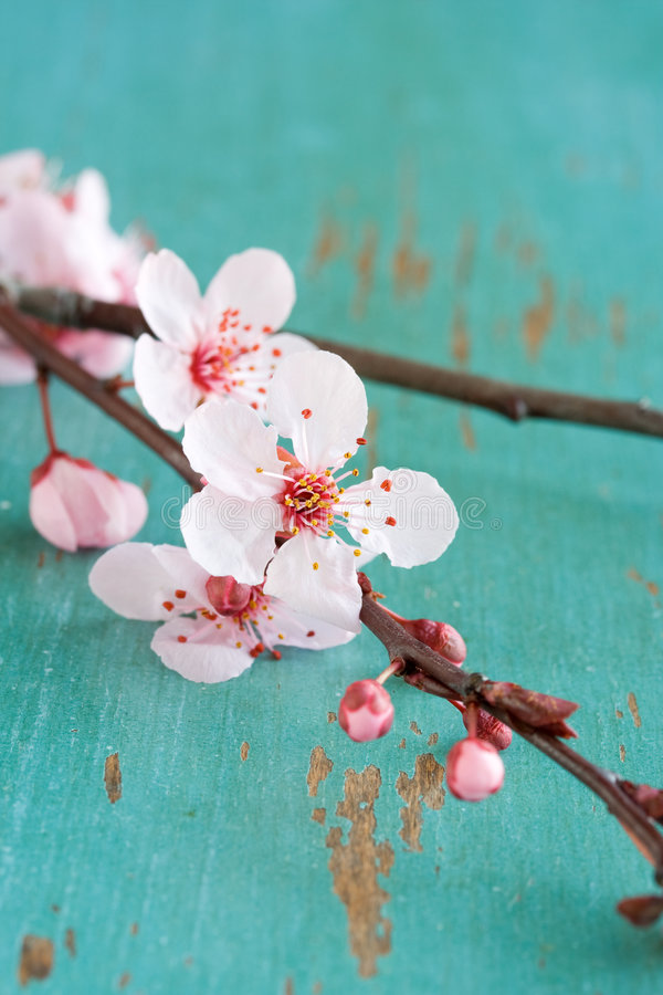 okwitnięcia wiśni kwiaty obraz royalty free