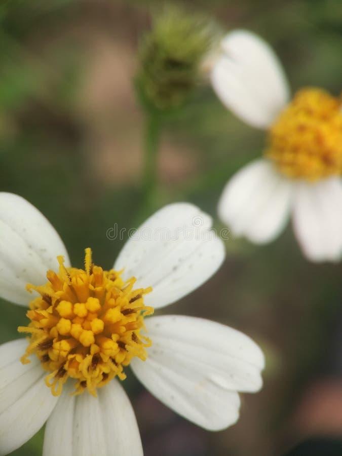Okwitnięcie żółty kwiat fotografia royalty free