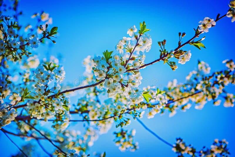 Okwitnięcie czereśniowego drzewa inatagram przełaz zdjęcie stock