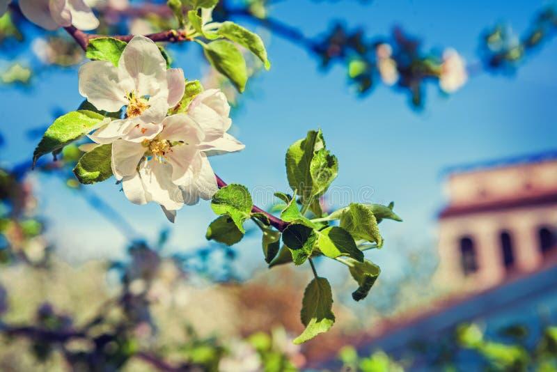 Okwitnięcie jabłoni inatagram przełaz obrazy stock