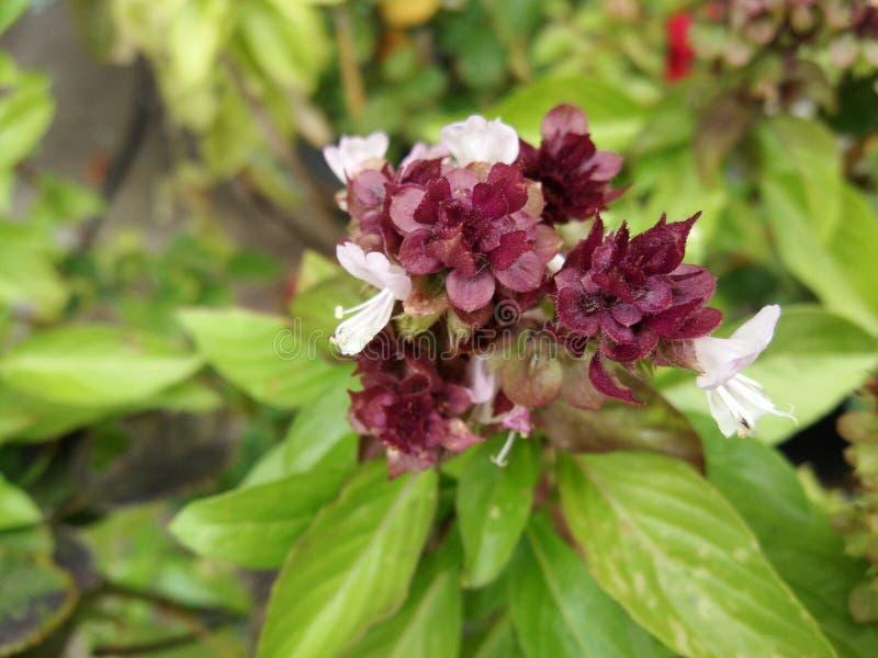Okwitnięcie kwiatu bukiet na zamazanych zielonych liściach Słodki basil, Tajlandzki basil, stawiający liść na Tajlandzkim jedzeni zdjęcia royalty free