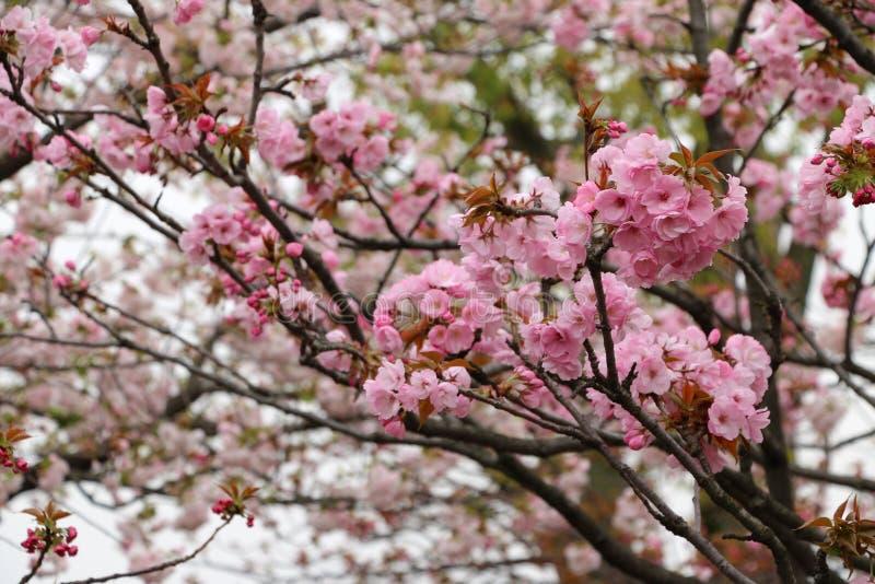 okwitnięcie kwiaty czereśniowi dyferencjalni skupiają się lekki makro- naturalnego obraz royalty free