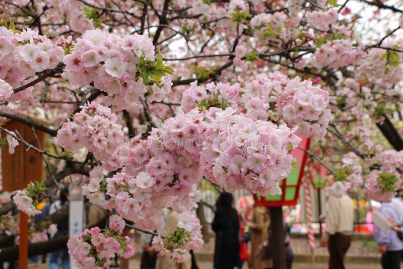 okwitnięcie kwiaty czereśniowi dyferencjalni skupiają się lekki makro- naturalnego obrazy stock