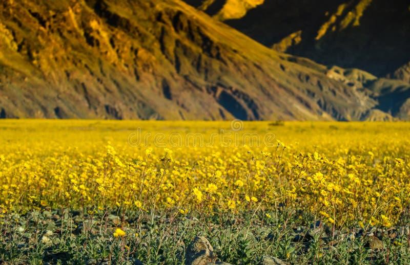 Okwitnięcie kwitnie w pustyni, Śmiertelny Dolinny park narodowy obraz royalty free