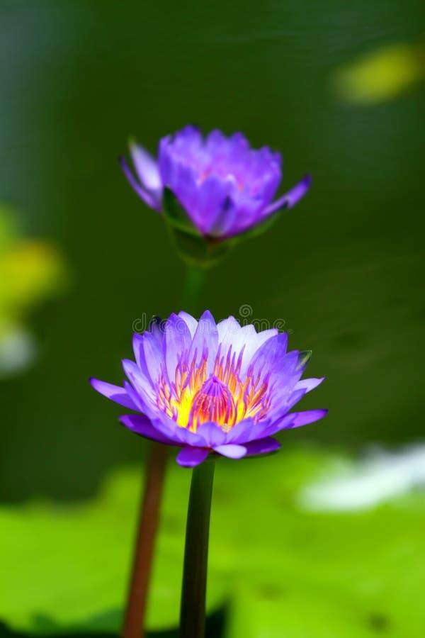 Okwitnięcie lotosowy kwiat w Japońskim stawie obraz royalty free