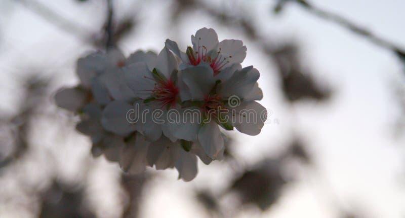 Okwitnięcie migdałowy drzewo zdjęcie royalty free