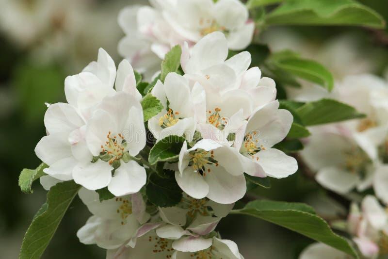 Okwitnięcie piękny jabłoni Malus dorośnięcie w wsi w UK obrazy stock