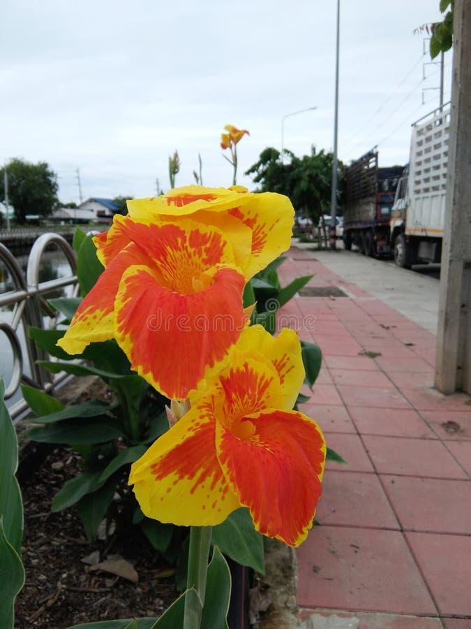 Okwitnięcie pomarańczowej kanny indica kwiat zdjęcie royalty free