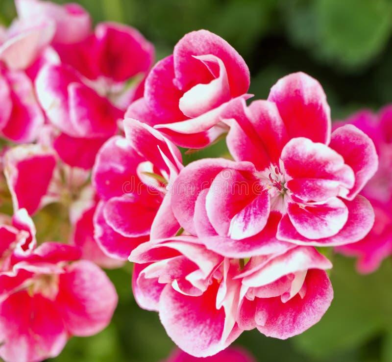 Okwitnięcie różowy pelargonium od zakończenia fotografia stock