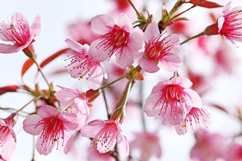 okwitnięcie różowy Sakura fotografia royalty free