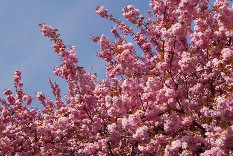 okwitnięcie Sakura zdjęcia royalty free