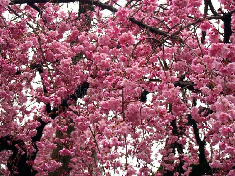 okwitnięcie wiśnia Sakura zdjęcie royalty free