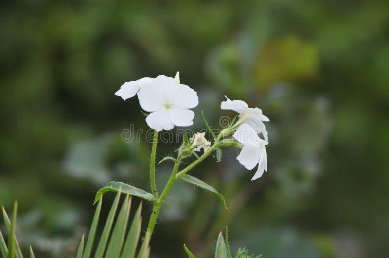 Okwitnięcie wiosna; Oleandrowy Nerium oleander obrazy stock