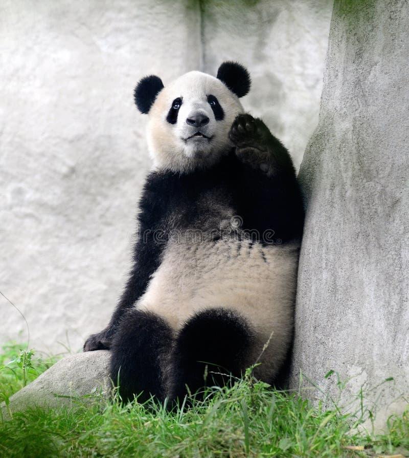 Olá! de ondulação do urso de panda gigante imagem de stock royalty free