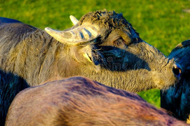 Olá!, meu nome é búfalo imagens de stock