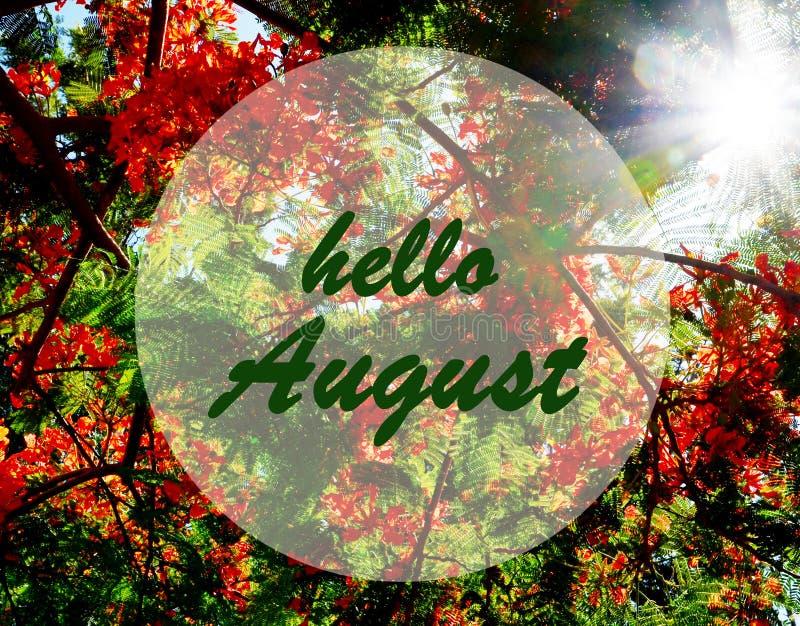 Olá! o cumprimento de agosto na árvore de chama de florescência e o por do sol expõem ao sol o fundo Conceito do verão imagem de stock royalty free