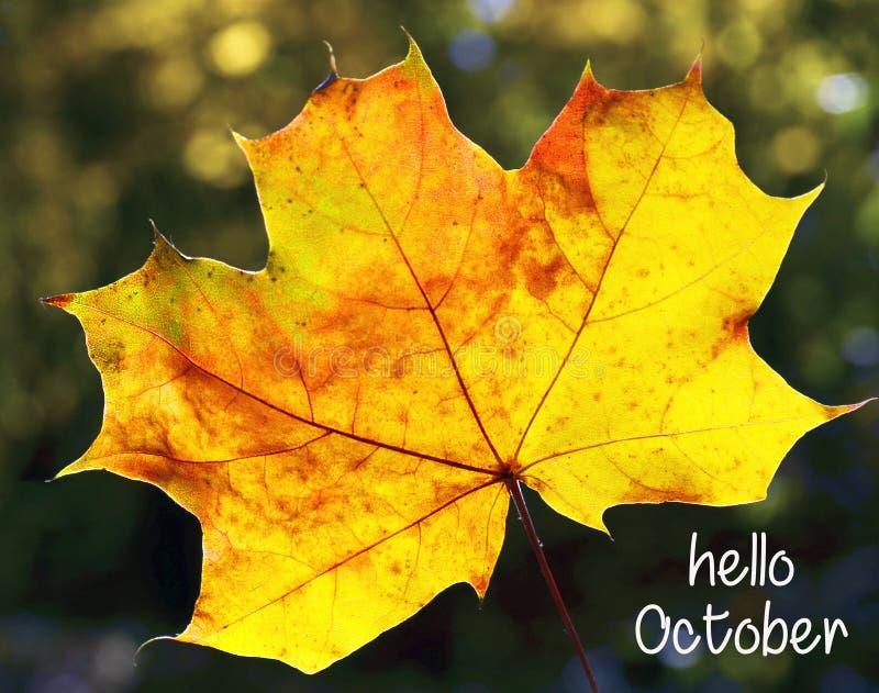 olá! outubro Folha de bordo dourada do outono em um fundo outonal borrado da floresta com texto Conceito do outono fotos de stock