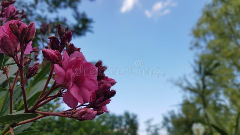 Oléandre et le ciel bleu image libre de droits