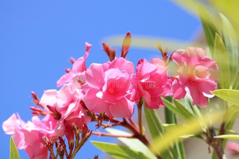 Oléandre rose plusieurs fleurs dans le ciel photographie stock