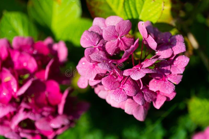 Olśniewająca purpura kwitnie w ostrości fotografia royalty free