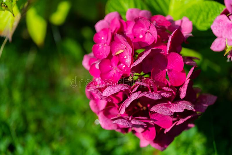 Olśniewająca purpura kwitnie w ostrości zdjęcie stock