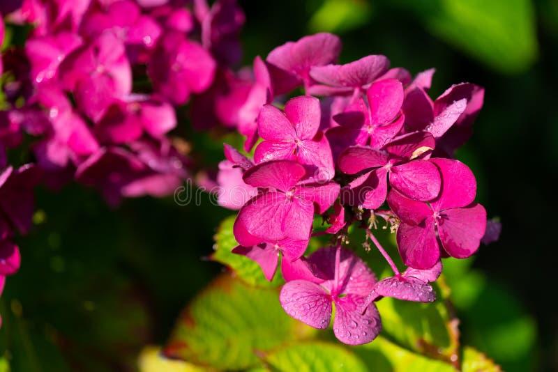 Olśniewająca purpura kwitnie w ostrości zdjęcie royalty free
