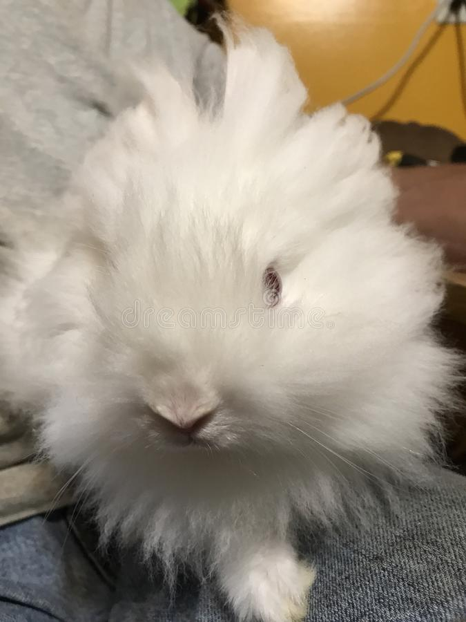 Bad hair day for Olaf. Olaf is a lion head rabbit having a bad hair day. Lion head rabbit make really nice house pets royalty free stock image