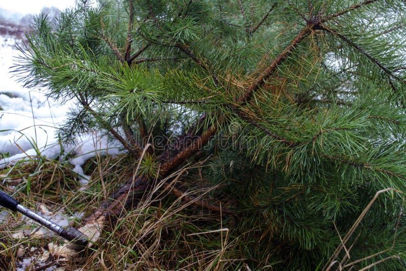 Olagligt avverka av granar Skogsavverkningförbud klipp ner julgranar royaltyfria foton