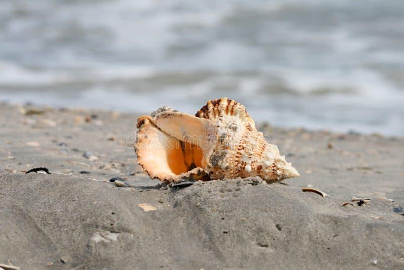 olbrzymia morska piękna muszla obrazy stock