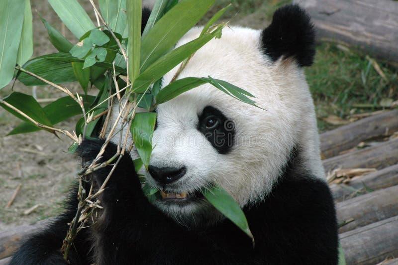 olbrzymia panda fotografia royalty free