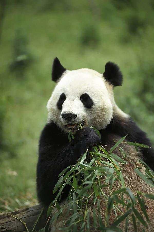 olbrzymia panda obraz stock