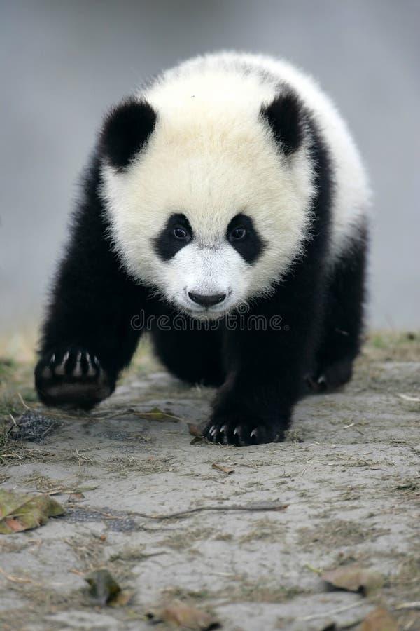 olbrzymia panda zdjęcia stock
