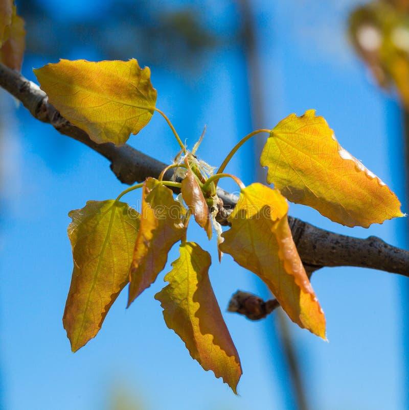 Download Olchowego Drzewa Liście Zakończenie Obraz Stock - Obraz złożonej z życie, liść: 53781313