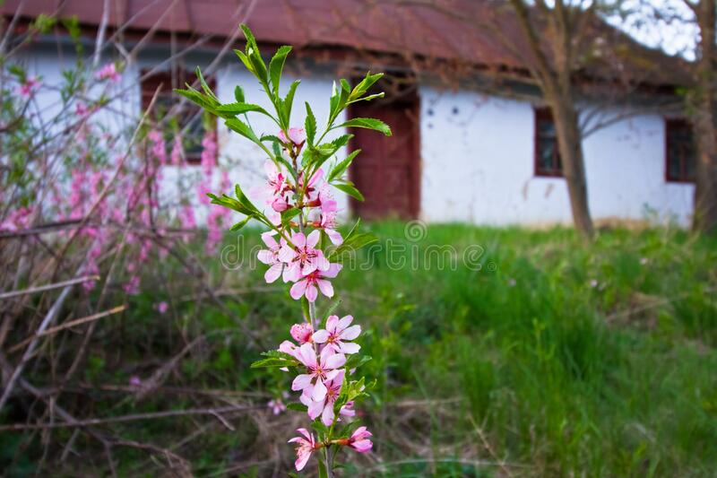 Old abandoned country house, yard with dwarf almond twig in blossom in last sun rays of evening, desolation and spring. Nature awakening contrast design stock photography