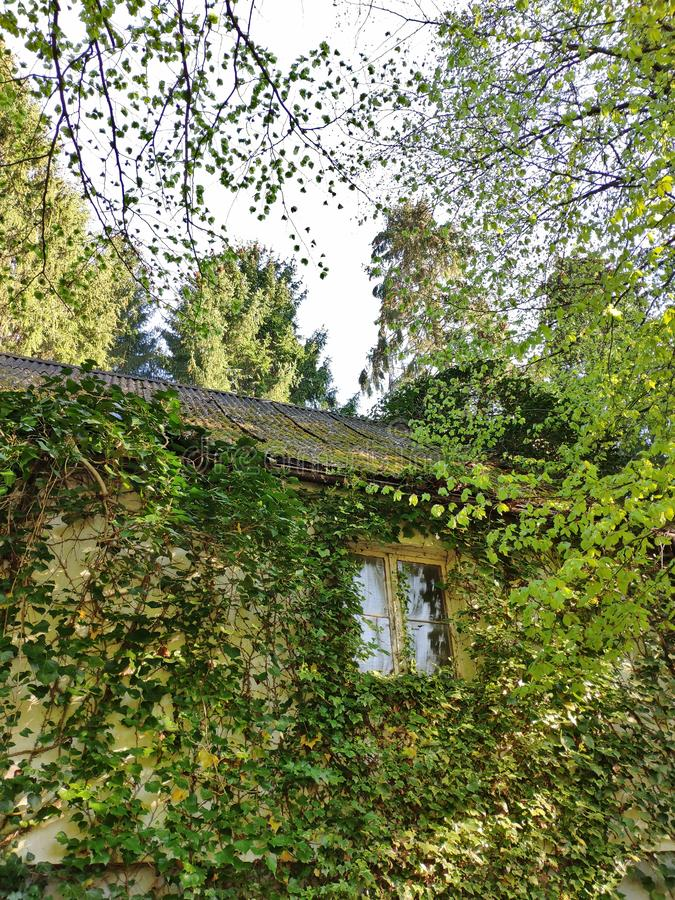 House in the woods. Old abandoned house in the woods with plants growing all over the facade stock photo
